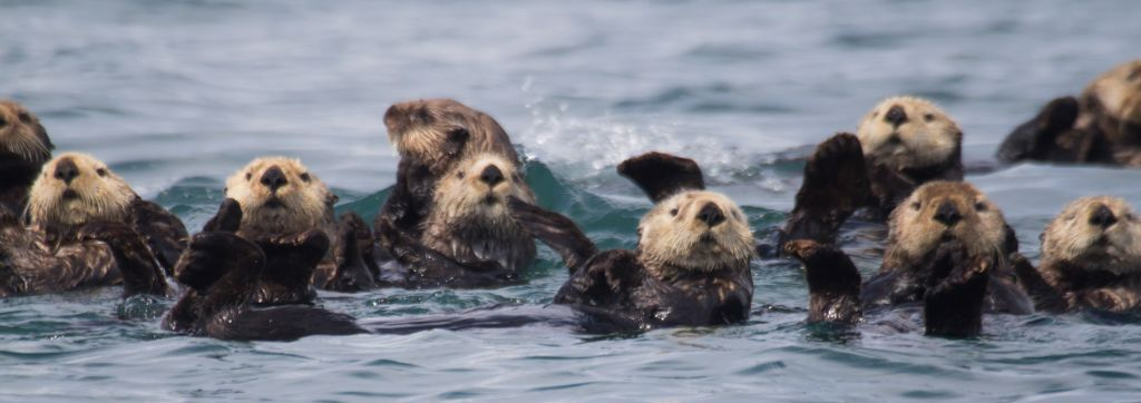 rafts of sea otters are so cute :)