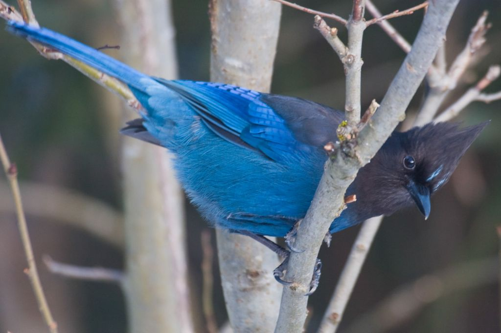 we did see a stellar jay