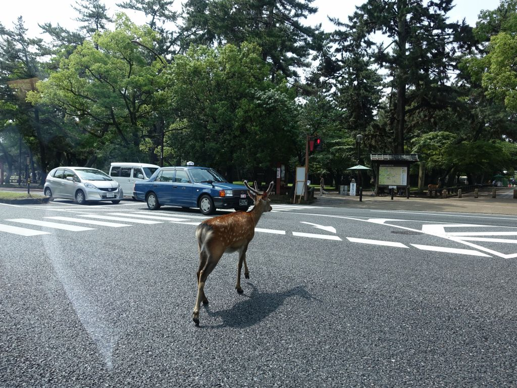 Deer cross the street without even waiting for the green light :)