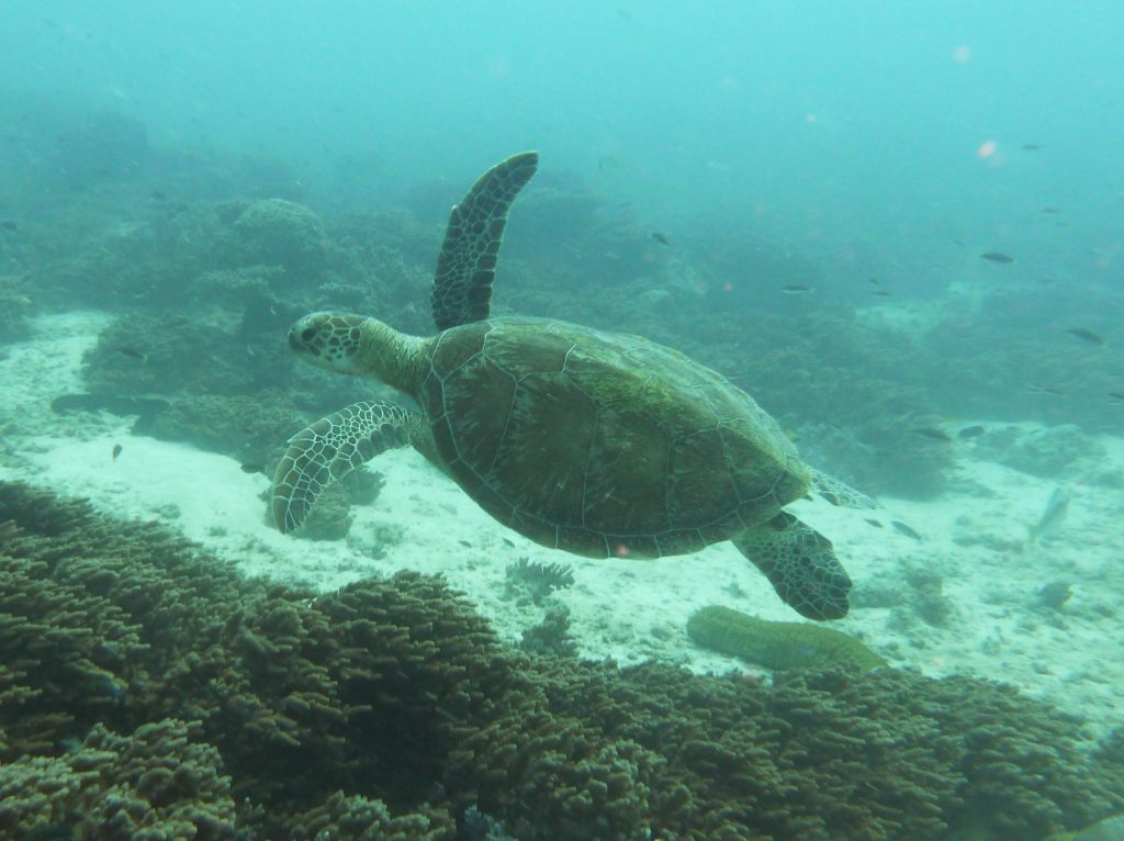 plenty of green turtles