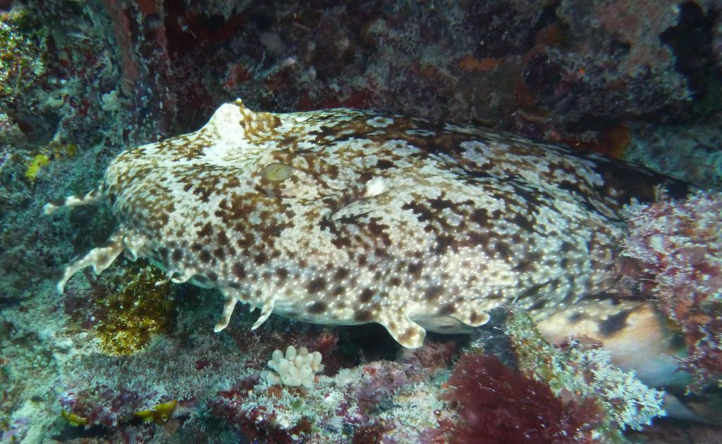 wobbegon shark