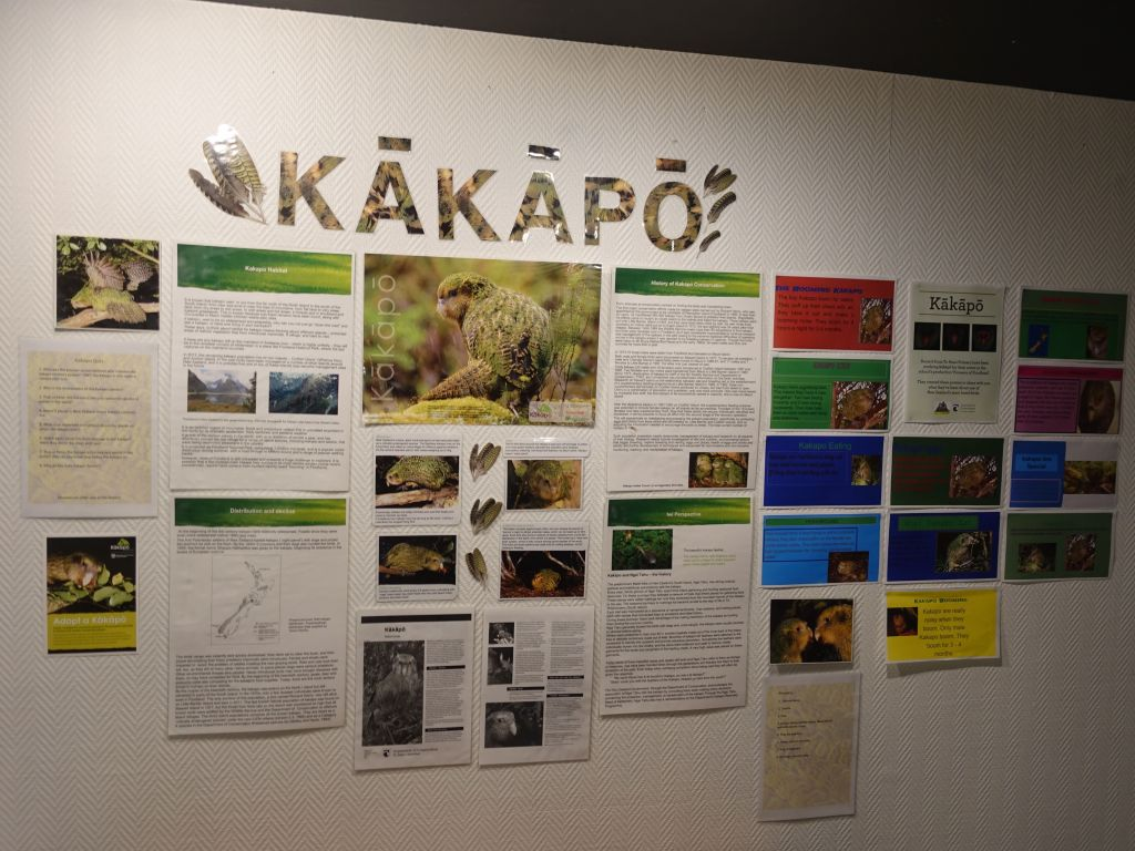 the kakapo is so cute, but critically endangered (about 130 birds left in the world)