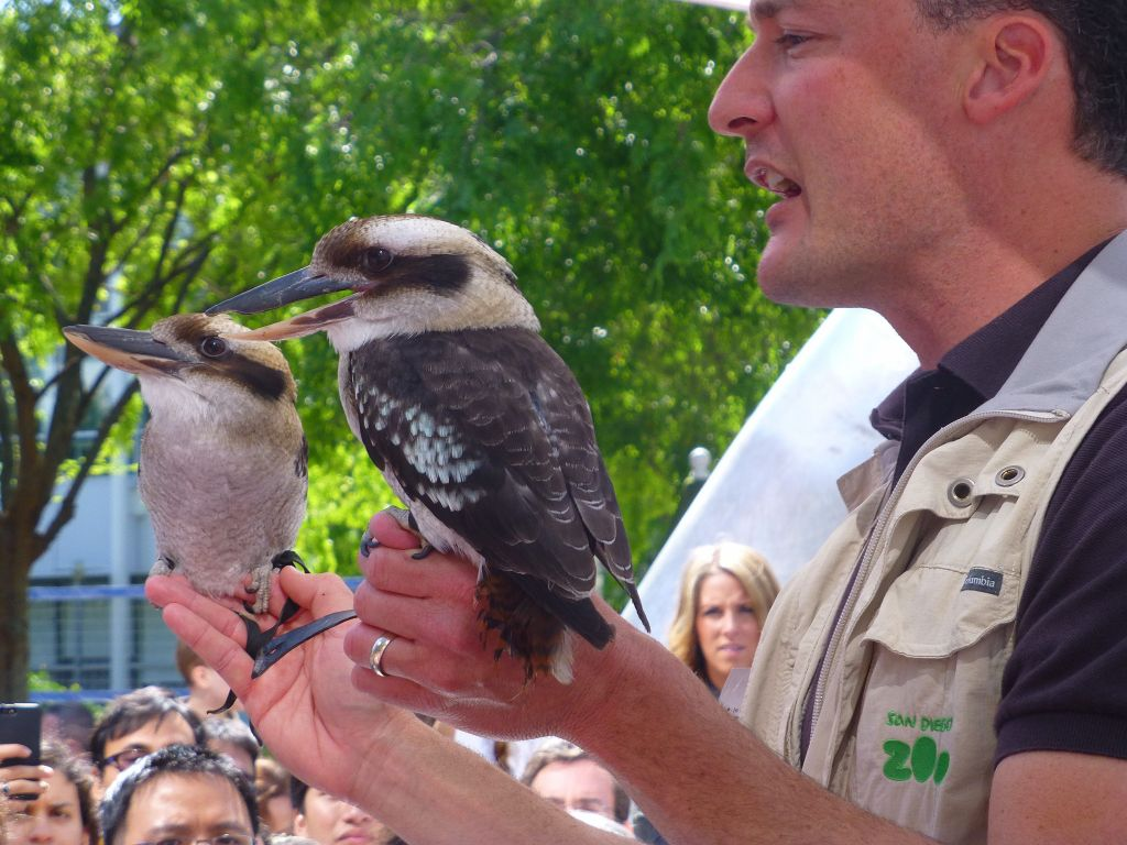 The Kookaburas are cool