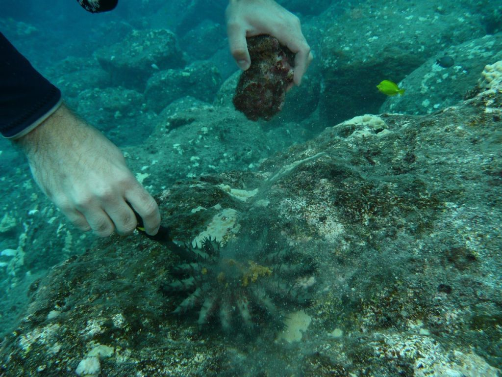 killing a crown of thorns, they are a pest that eat coral