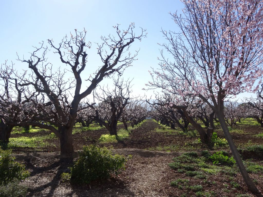 The last original fruit trees in sunnyvale