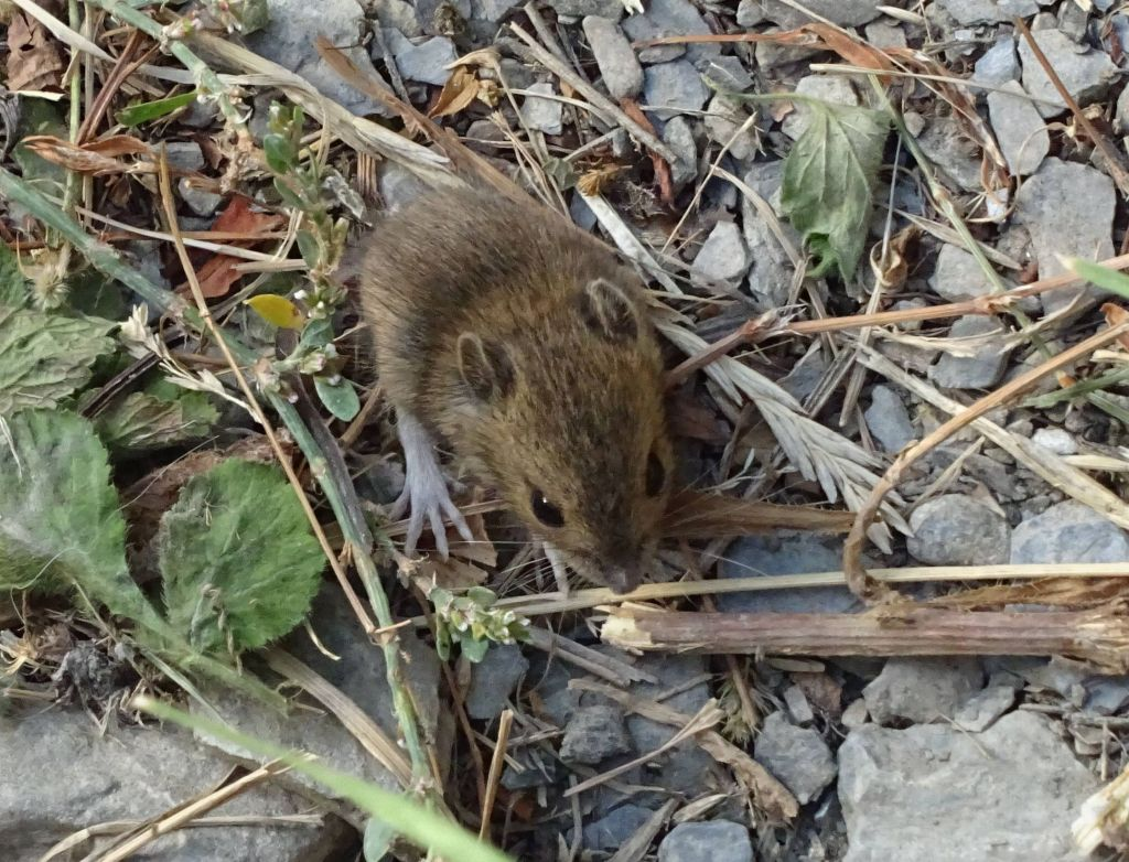 found this baby mouse on the path, I could have picked it up :)
