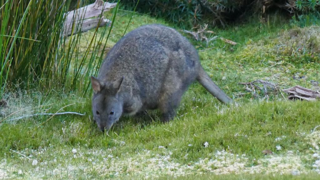 more wallabies than we could count