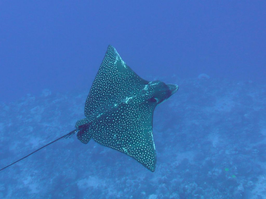 Very nice Eagle Ray