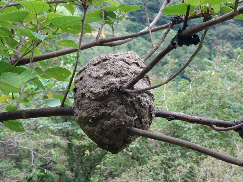 turns out it's actually ants that build nests in trees