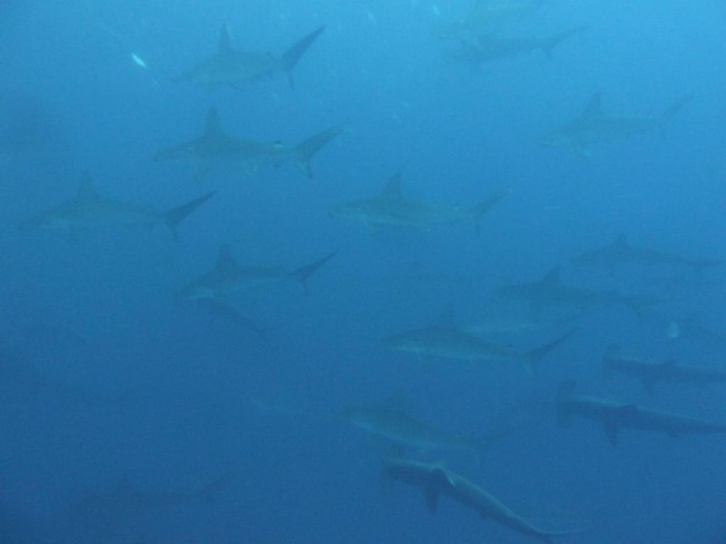 many hammerhead sharks