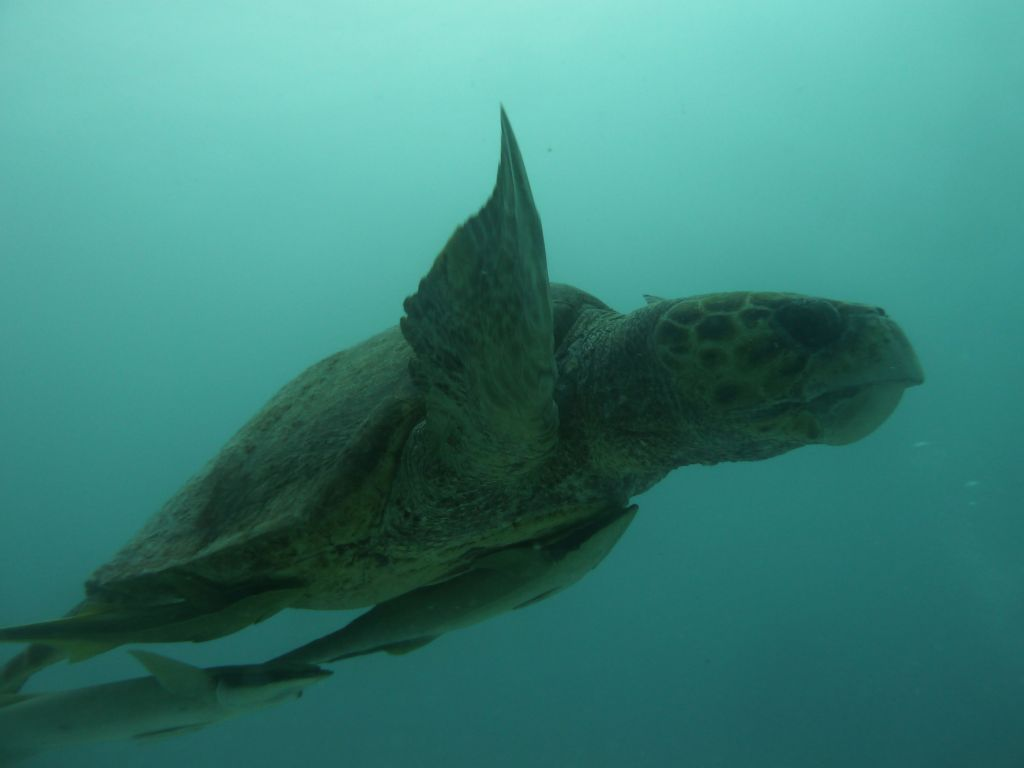 huge loggerhead turtle