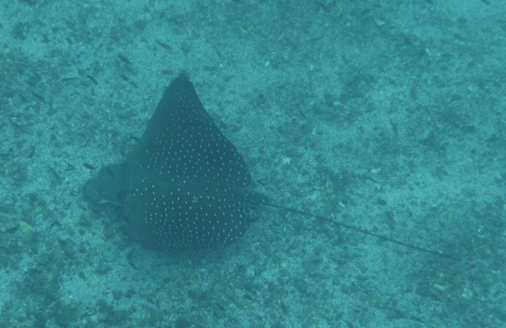 a huge eagle ray hunting for garden eels
