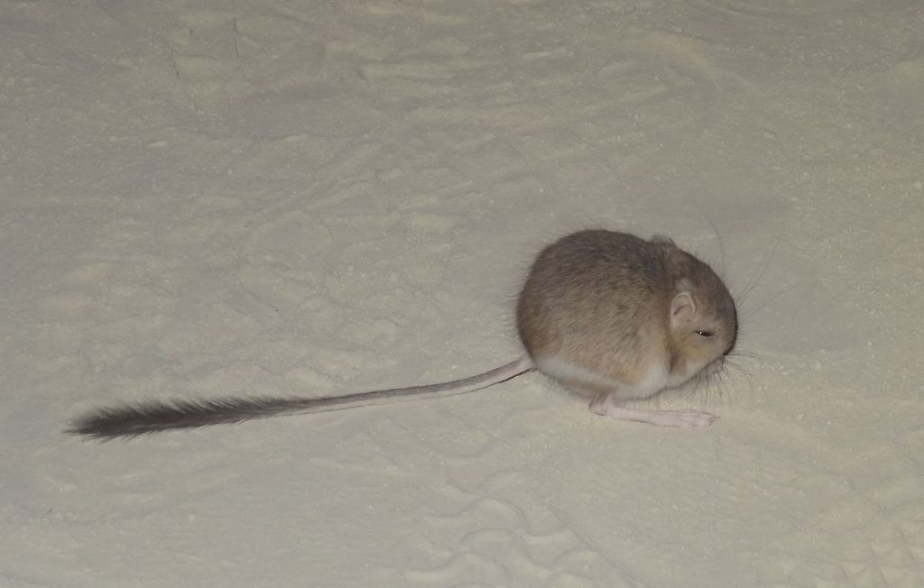 I found this kangaroo mouse, so cute