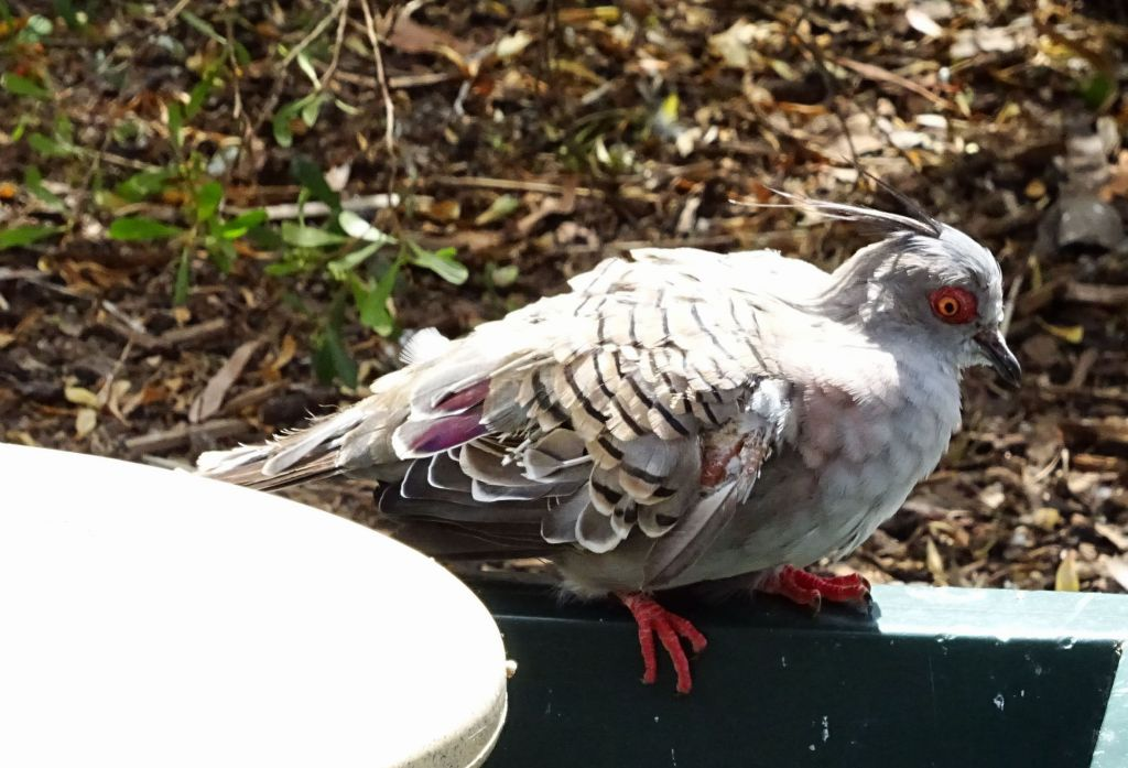 this pigeon looks like it's on drugs with bloodshot eyes :)