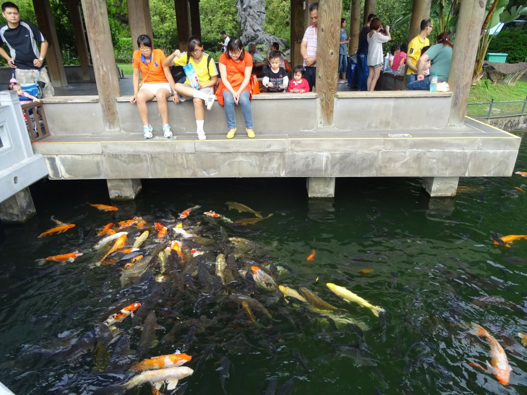 very fat koi fish, if they could walk on land to get your food, they sure would :)