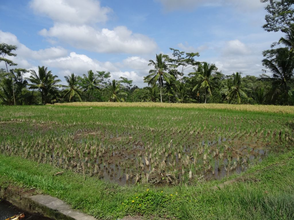 lots of rice fields