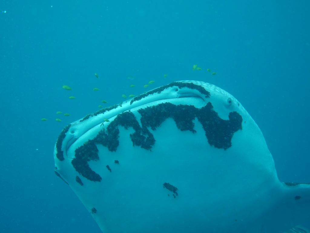 sadly, our friend whale shark had a lot of parasites on it