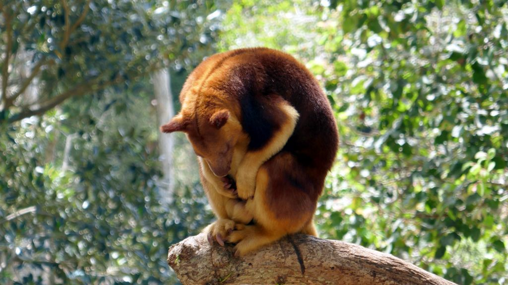 tree kangaroos are cool