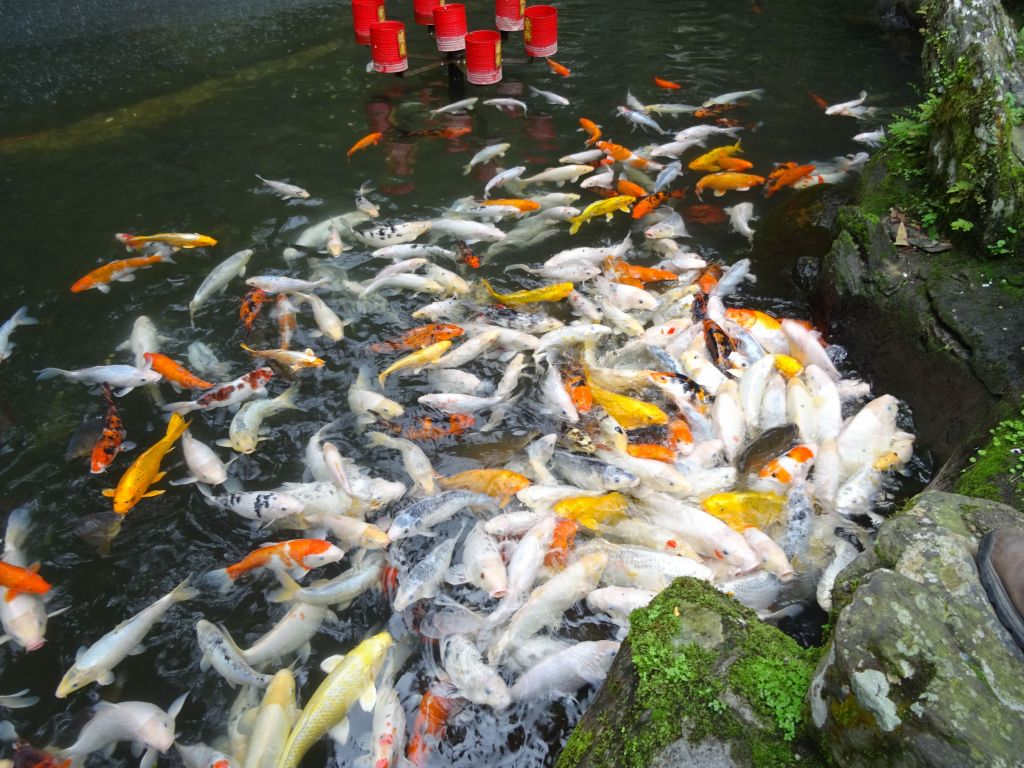 OMG, that's a lot of koi fish, they looked hungy :)