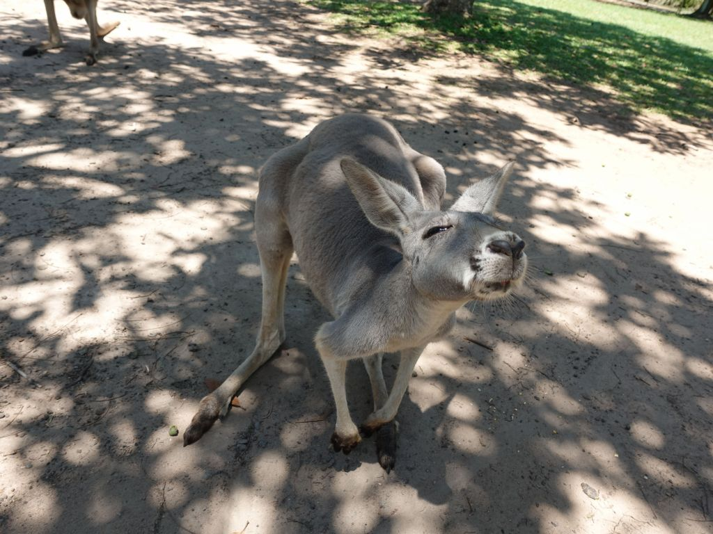red kangaroos are cool looking and soft