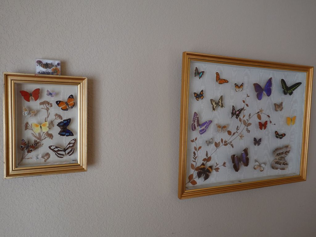 and him got a home with the other butterflies I inherited from an uncle