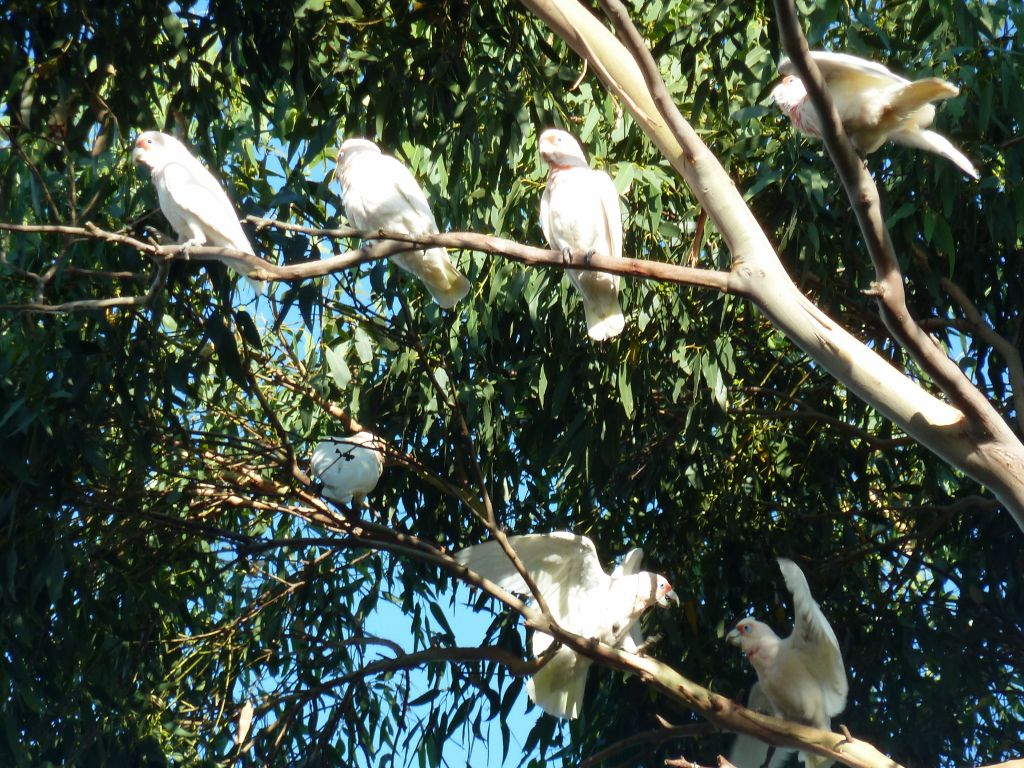 Ballarat's birds were loud but pretty :)