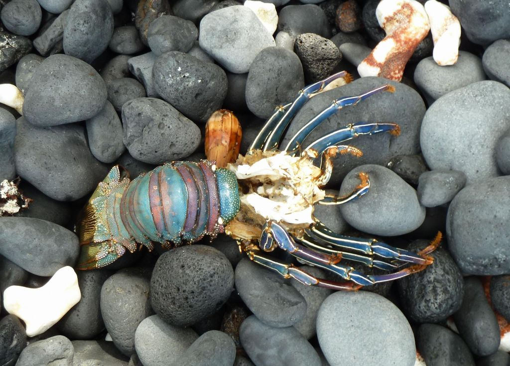 there were lots of dead lobsters that got washed on the 'beach'. Too bad none were fresh :)