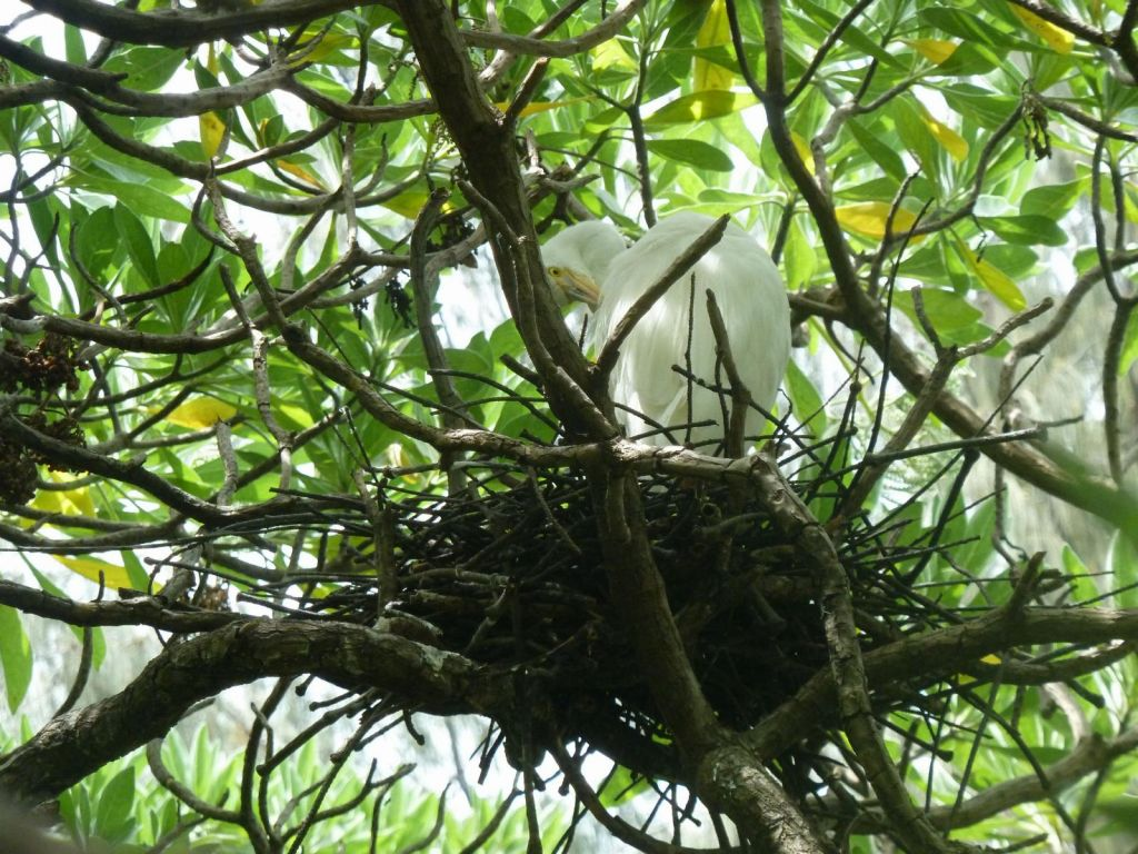 Egrets (another name for Herons), which Heron Island comes from