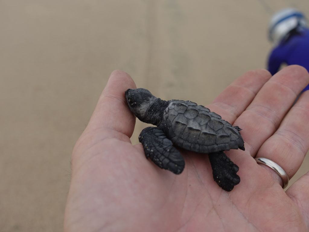 and we got so lucky, some baby turtles just hatched