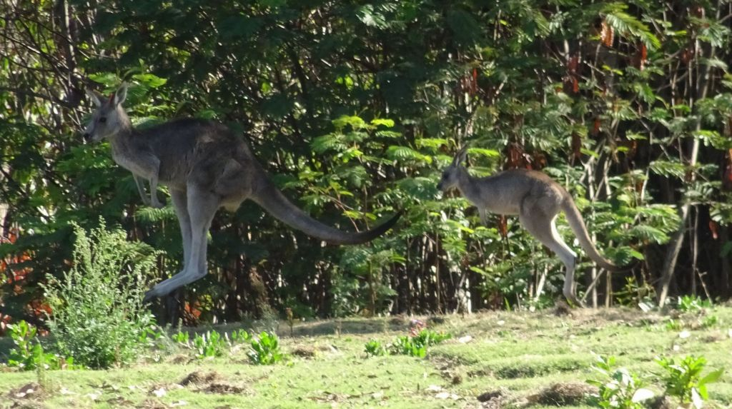 semi wild kangaroos in a golf course