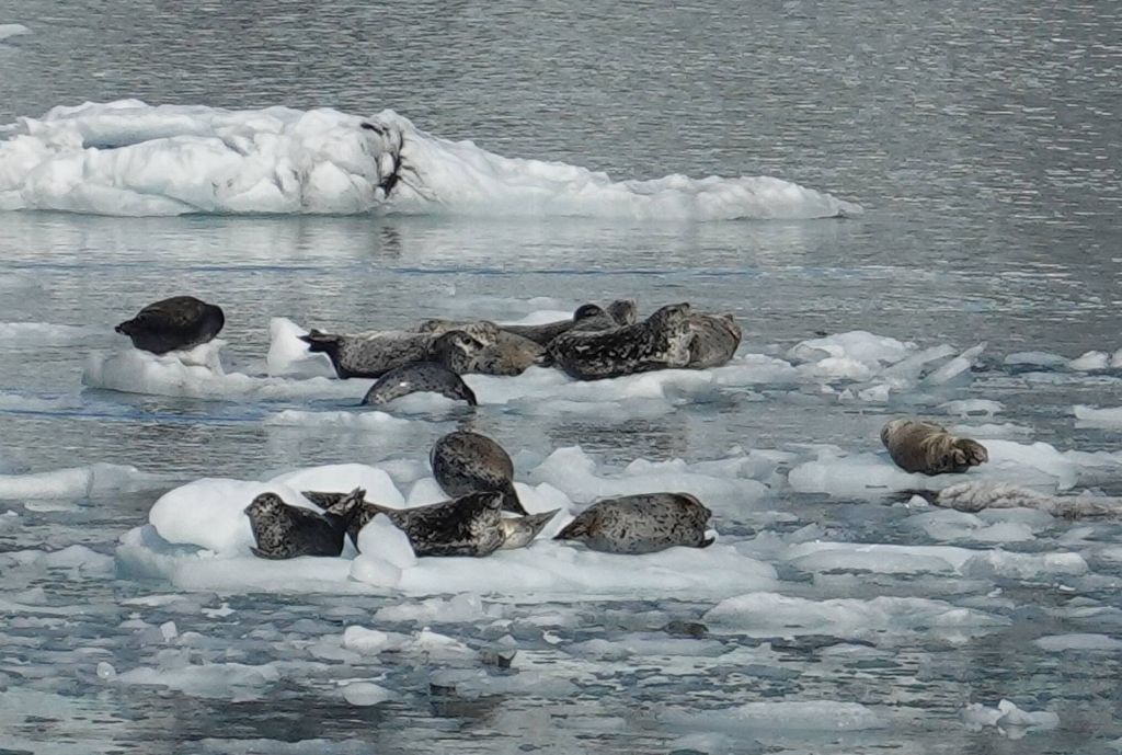 lot of seals sleeping on the ice to avoid the orcas