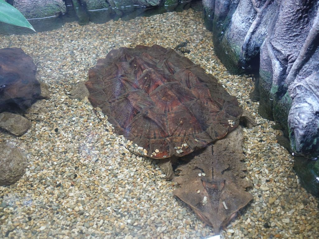 weirdest flat turtle I had ever seen