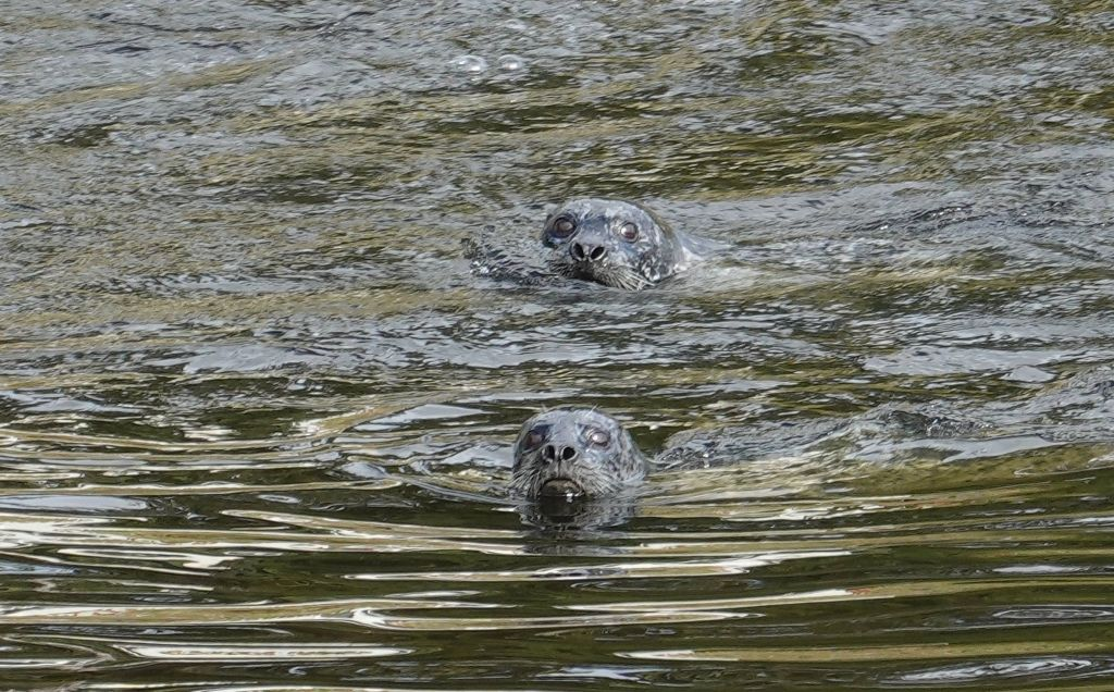 several seals came up the river to eat the exhausted salmon