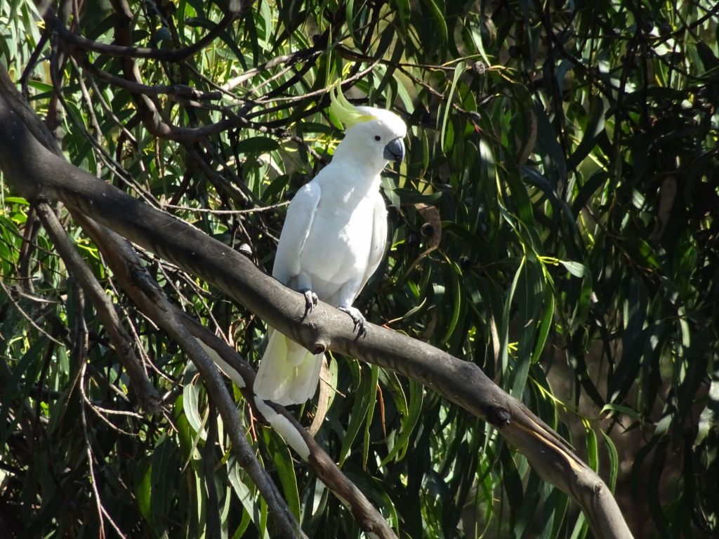 I love cockatoos