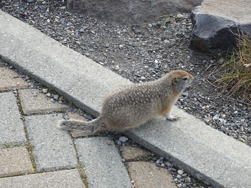 ground squirrels are food for many bigger animals