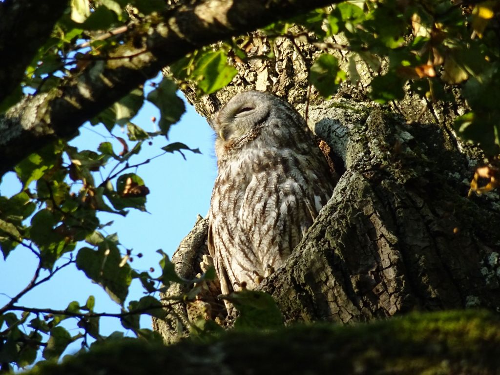 we got lucky to see this owl trying to sleep