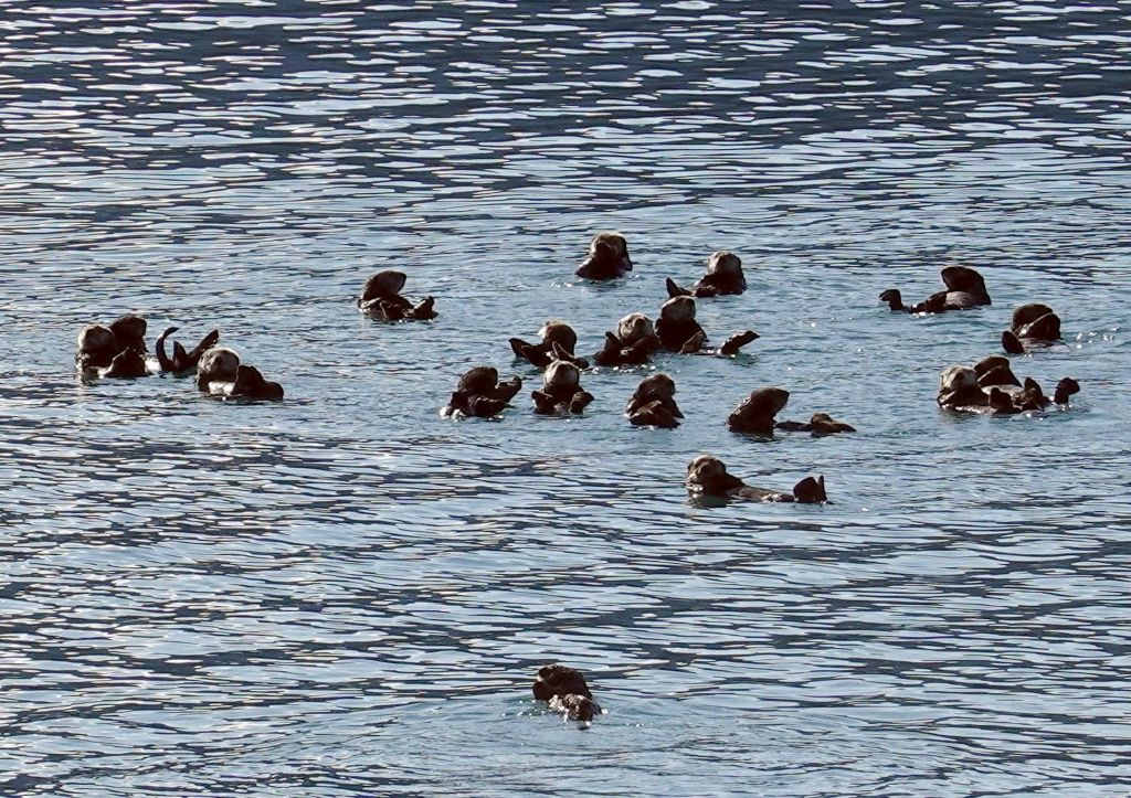 we then ran into a raft of sea otters