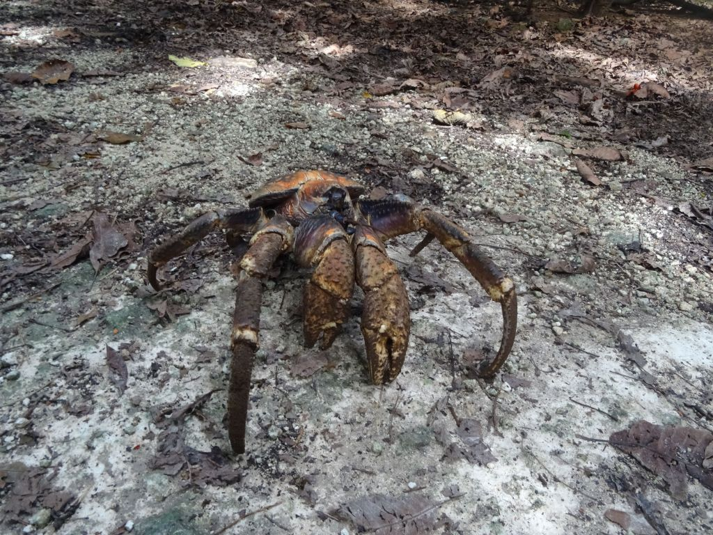 coconut crabs come in different colors