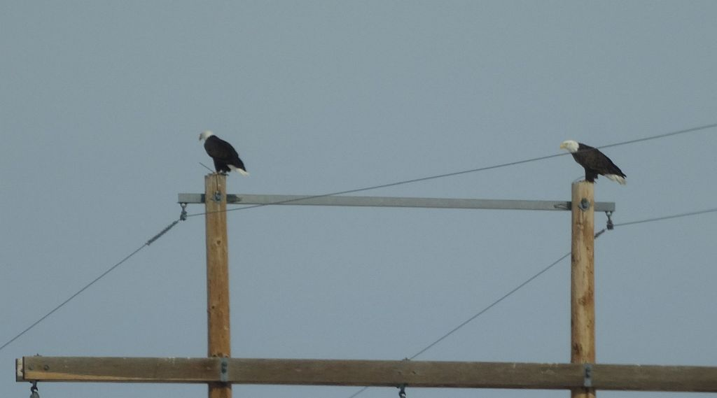 a couple of bald eagles