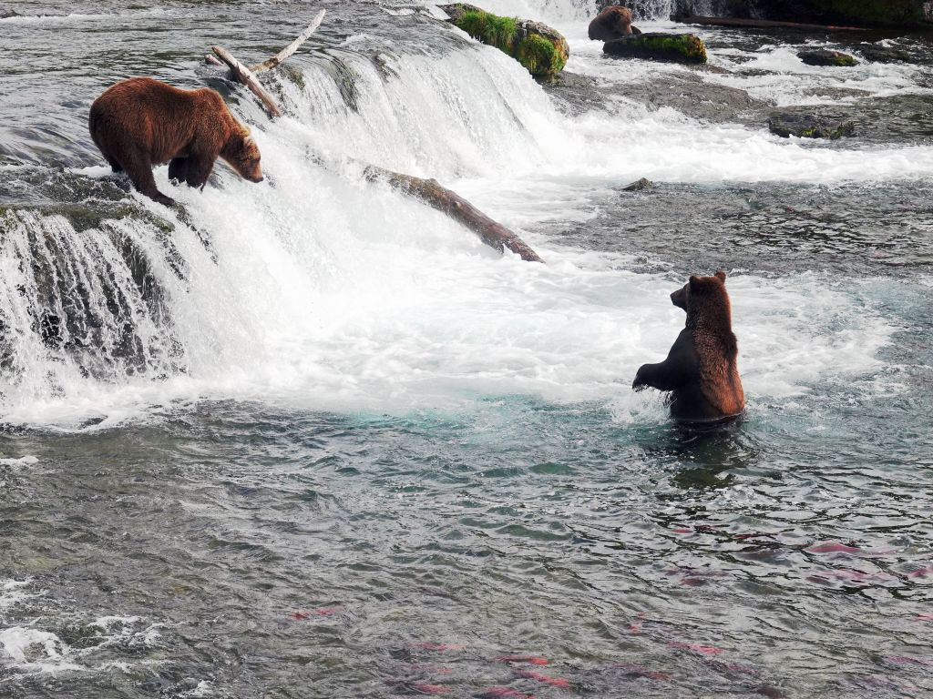 some bears wait for the fish to jump up, miss, fall back and then they catch them