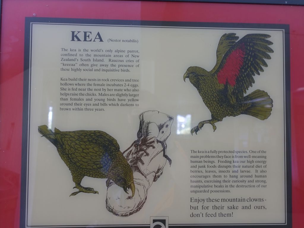 warning on how the keas love to destroy your hiking boots :)
