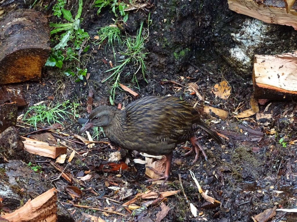 New Zealand Weka flightless bird, roams around a bit like a chicken