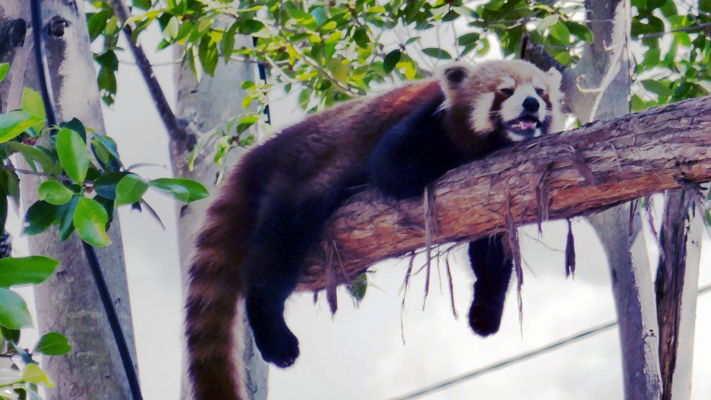 red panda, not liking the heat :)