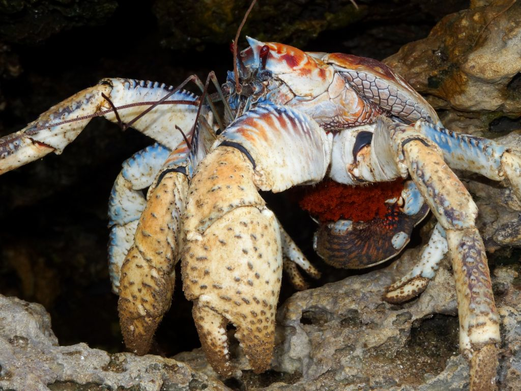 this coconut crab found in the rocks had eggs