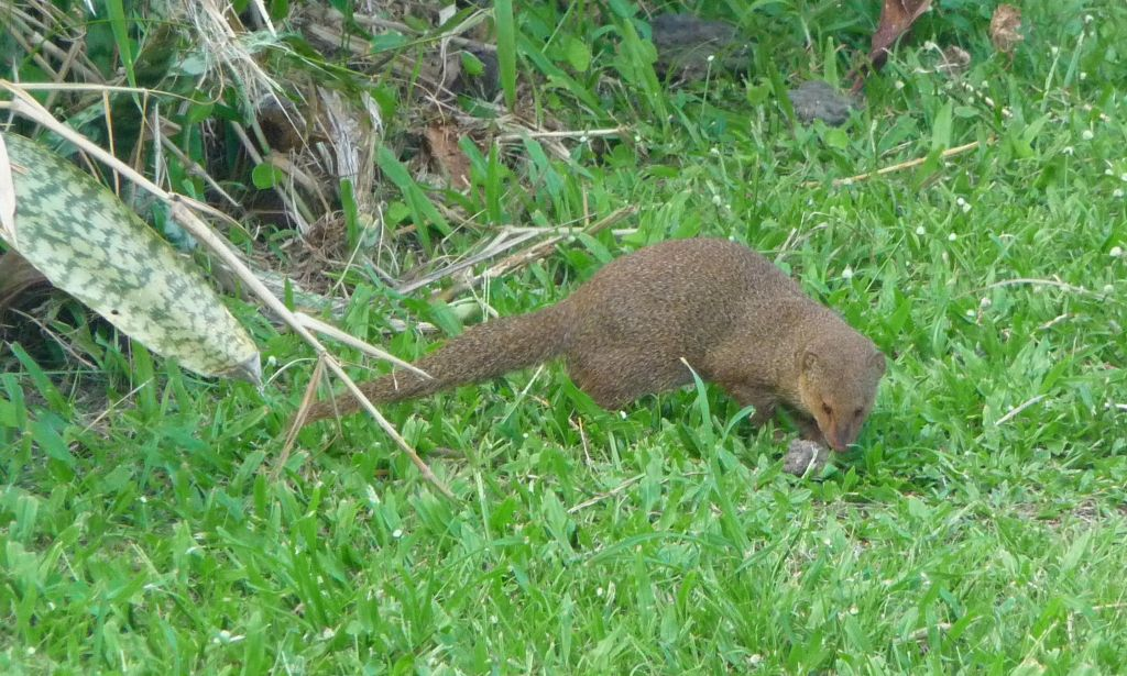 Maui has many mongooses