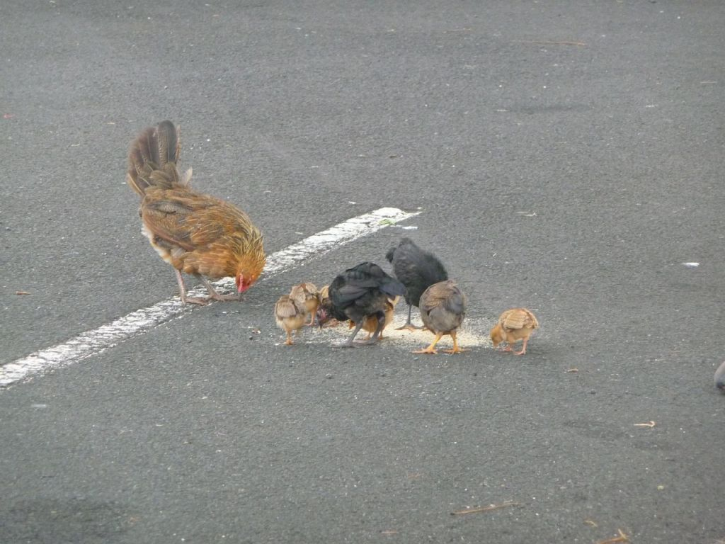 did I mention Kauai was overrun by chicken? :)