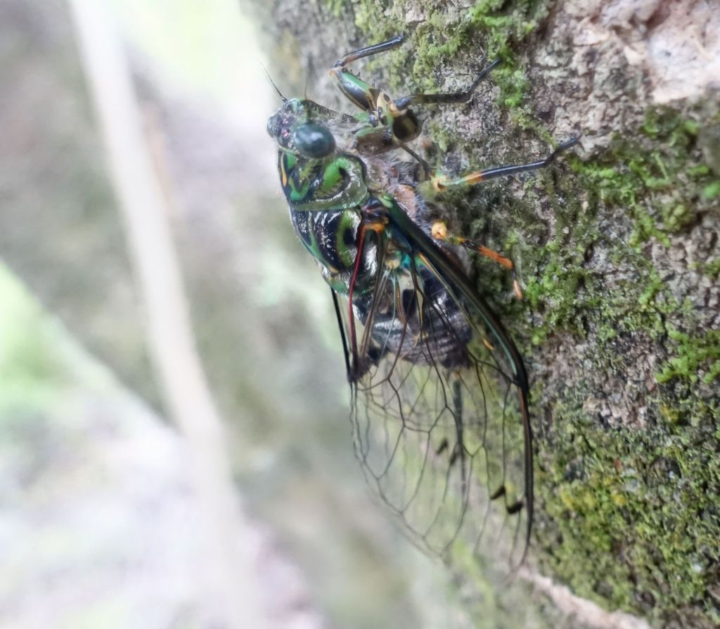 beautiful insect, we called it 'clack clack' for the noise it makes