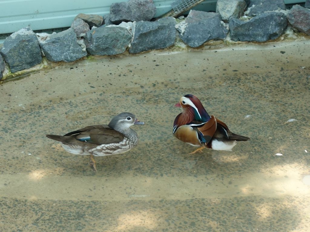 mandarin ducks, also colorful