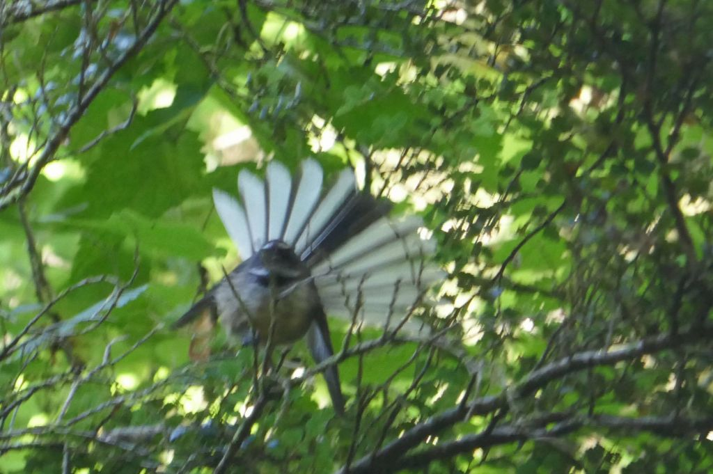 the way back had lots of birds, here a fantail
