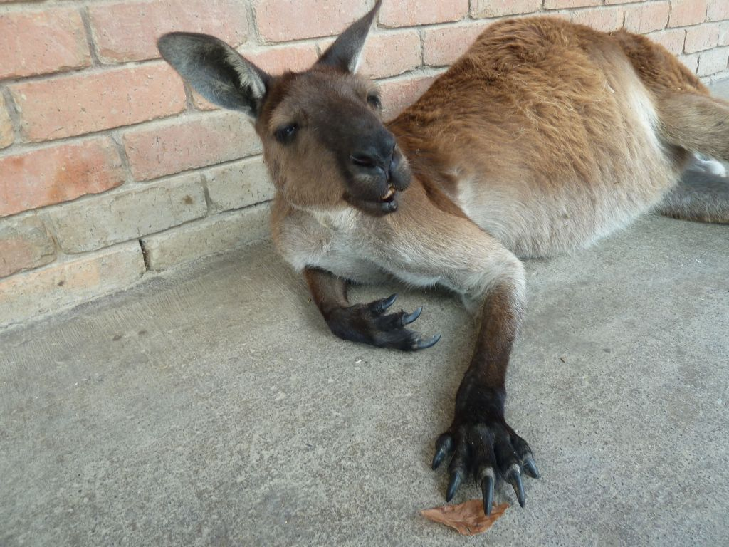 this was a very cool layed back kangaroo, nice claws too ;)